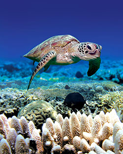 Turtle swimming in the coral reef